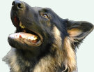 uk-gsr_uk-german-shepherd-rescue001055.jpg