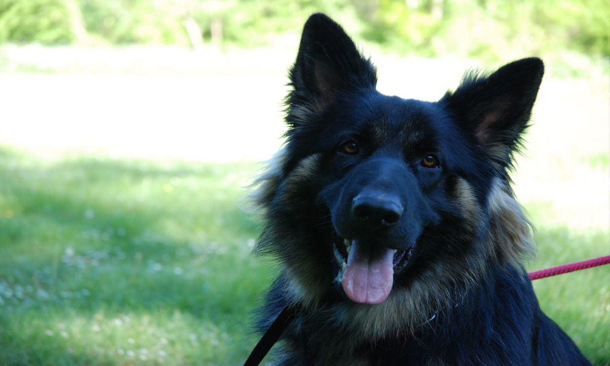 Donate the the UK German Shepherd Rescue Angels